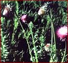Musk Thistle Image