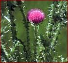 Plumeless Thistle Image