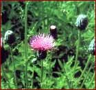Canada Thistle Image