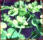 Leafy Spurge Image