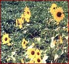 Wild Sunflower Image